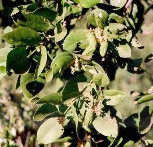 dobera-glabra-fruits-and-flowers_UPenn-300x289